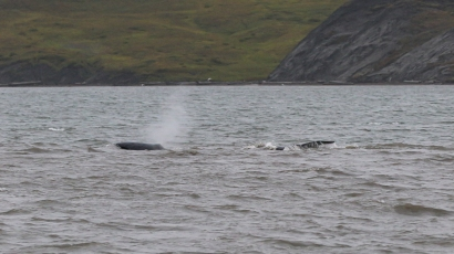 In what was to become our best whale sighting of the summer, four bowheads swam near to the shore in Pauline Cove for hours. Photo by Gergana Daskaloova.